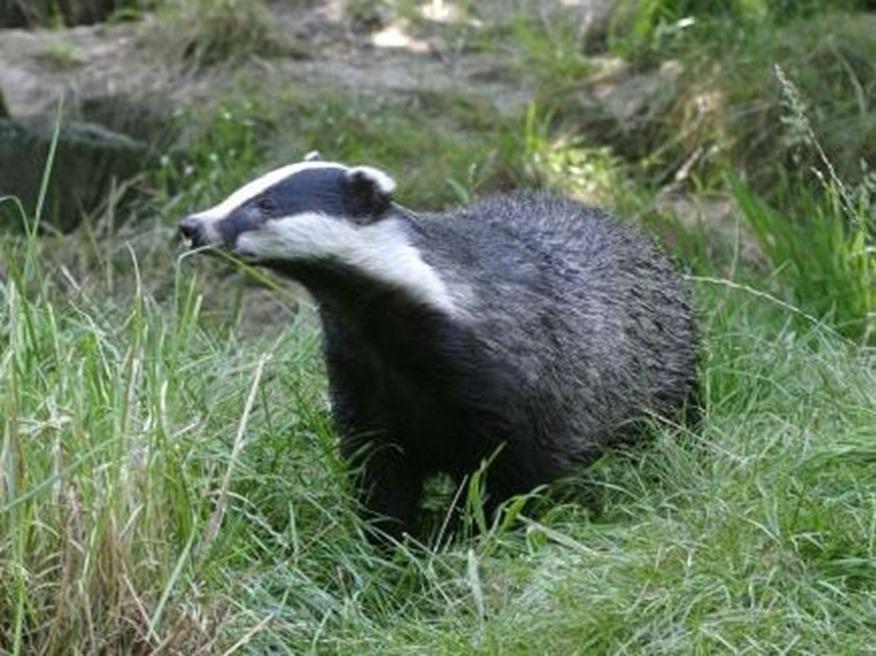 Mr Badger